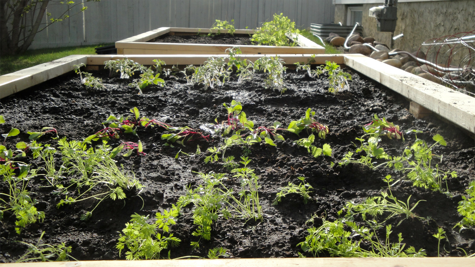 A picture of slightly sad looking beet, carrot, tomato, and pea plants spread out between 2 raised garden beds.